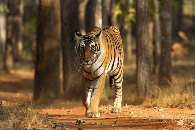 nallamalla-tiger-forest-achampeta